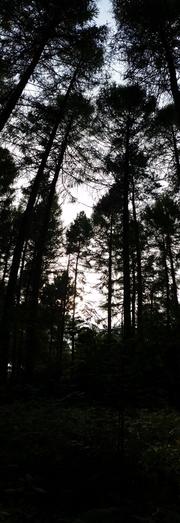 Tall pines at dusk