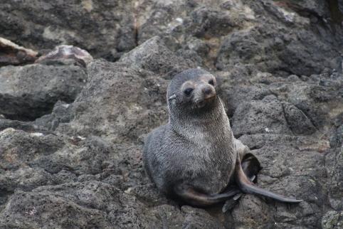 A cheeky fur seal pup