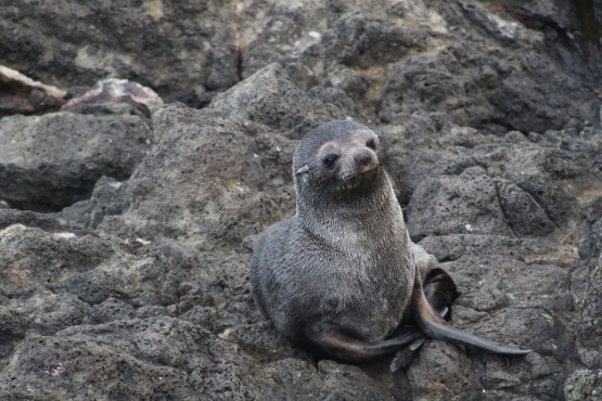 A cheeky fur seal pup